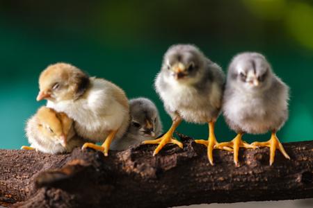 pollitos: Polluelos lindos en la naturaleza de fondo