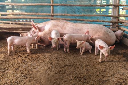 swine: Pigs on a farm