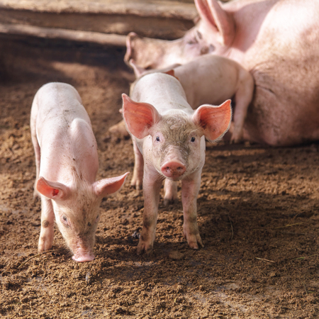 small group of animals: Pigs on a farm