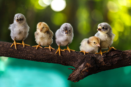 Cute chicks on nature background