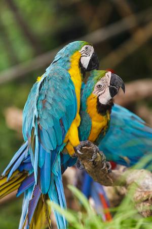 guacamaya: Guacamayo aves Foto de archivo