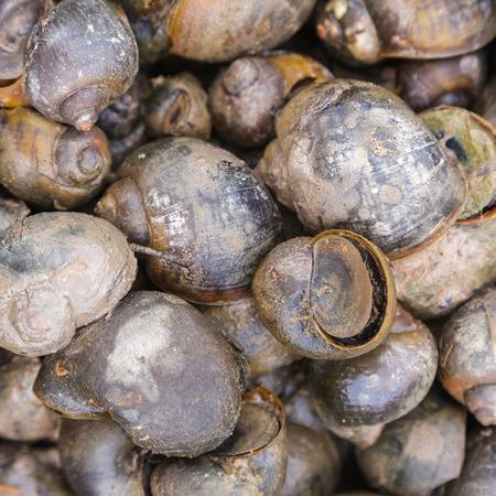 apple snail: Channeled apple or Golden Apple Snail background Stock Photo