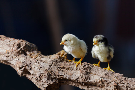 chicks: Cute chicks on nature background