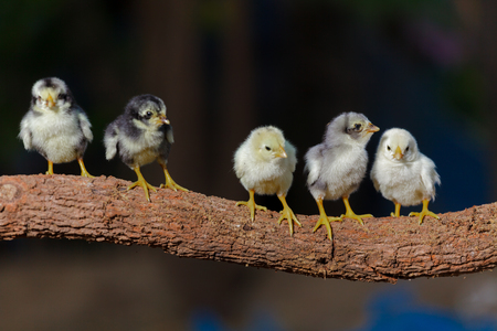 pollitos: Cute chicks on nature background