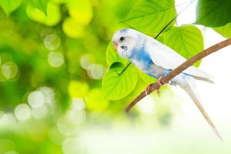 little budgie at tree branch in morning sunlight on nature background Stock Photo
