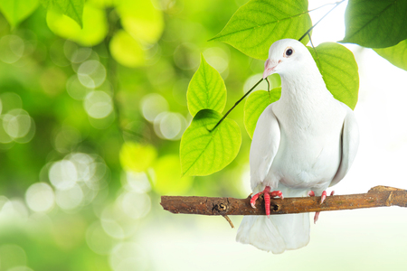 White pigeon at tree branch in morning sunlight on nature background