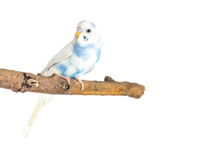 little budgie at tree branch on a white background Stock Photo