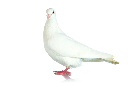 White pigeon on white background