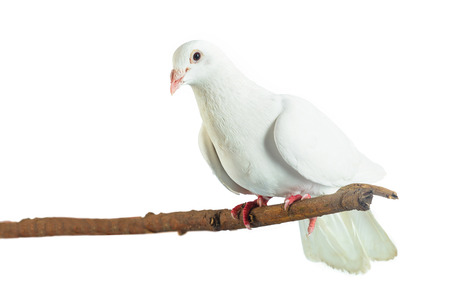 White pigeon at tree branch on white background Stock Photo