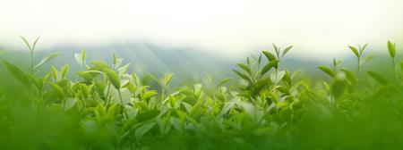Verse theebladen in ochtend op het gebied van de theeaanplanting