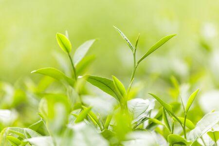 estate: Fresh tea leaves in morning on tea plantation field