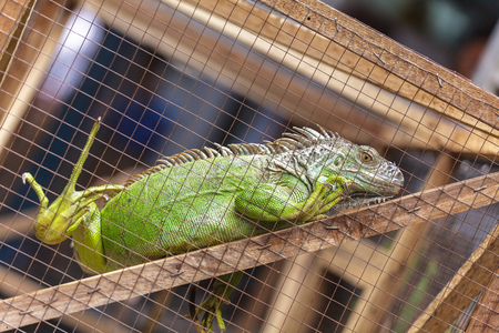 Iguana in the cage Stock Photo