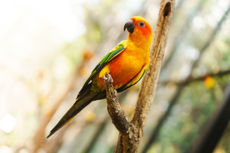 Beautiful colorful sun conure parrot birds on the tree branch Stock Photo