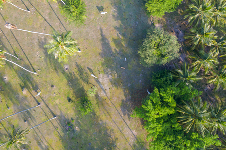 Aerial top view of cows in a coconut plantation Stock fotó