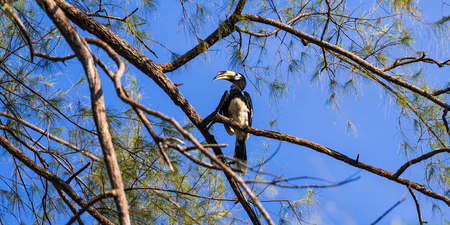 Hornbill on the tree