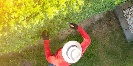 Man working in garden is pruning of ornamental trees at home in morning