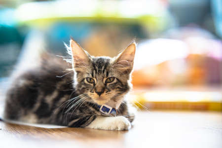 Maine Coon kitten, 3 months old, brown, body with tiger stripes. They have larger ears than other cat breeds. The fur is fluffy and has very long eyebrows and mustaches. Stock fotó