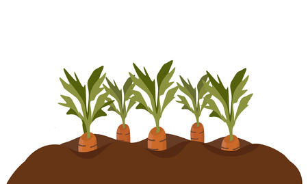 Karotten im Gartenbeet. Illustration, die zeigt, wie Karotten wachsen. Vektor-Illustration im Cartoon-Stil isoliert auf weiß