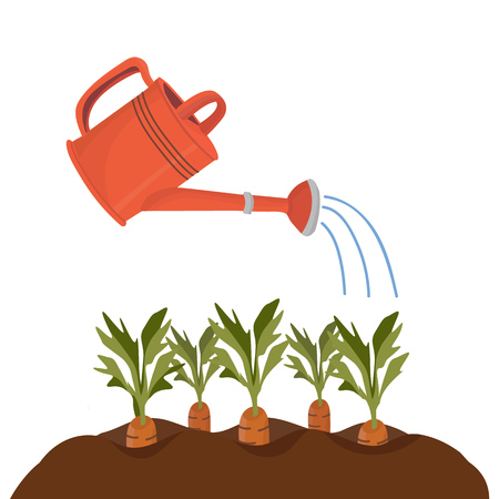 Red garden watering can irrigates beds with carrots. Vector isolated object in cartoon style for your design