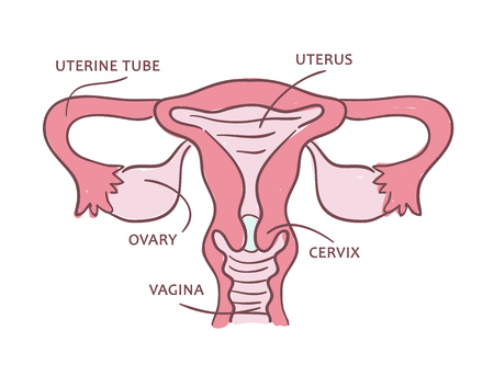Illustration of a female reproductive system. Medical scheme in section with text.