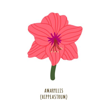 Amaryllis flat vector botanical illustration. Hand drawing of exotic, tropical flower. Isolated plant clipart with typography. Icon, design element for florist shop business