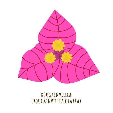 Bougainvillea flat vector botanical illustration. Hand drawing of exotic, tropical flower. Isolated primavera clipart with typography. Icon, design element for florist shop business Иллюстрация