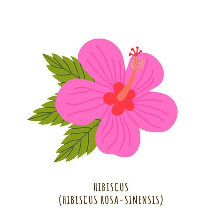 Hibiscus flat vector botanical illustration. Hand drawing of exotic, tropical flower. Isolated plant clipart with typography. Icon, design element for florist shop business Иллюстрация