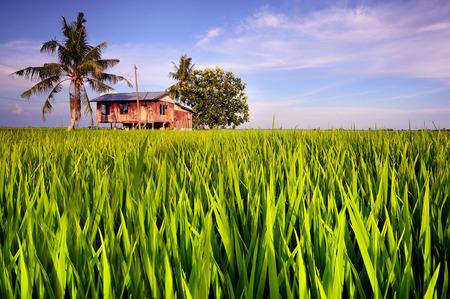 malay village: Tradicional casa de pueblo malayo en arrozales