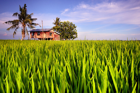 Traditional malay village house in paddy field Editorial