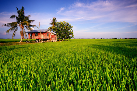 kampung: Traditional malay village house in paddy field Editorial