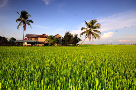 kampung: Traditional malay village house in paddy field Stock Photo