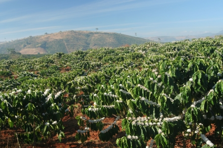 coffee plantation in mountains photo