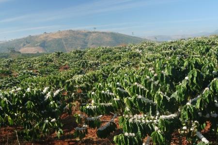coffee plantation in mountains Stock Photo - 5796082