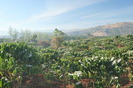 arbol de cafe: plantaci�n de caf� en las monta�as Foto de archivo