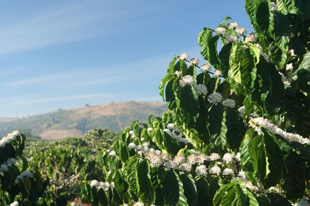 coffee tree: coffee tree in blossom