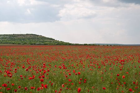 Poppies in the field photo
