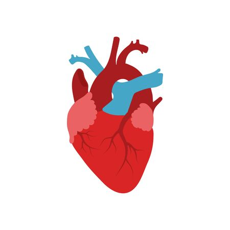 Vector illstration of human heart. Flat design. Isolated.