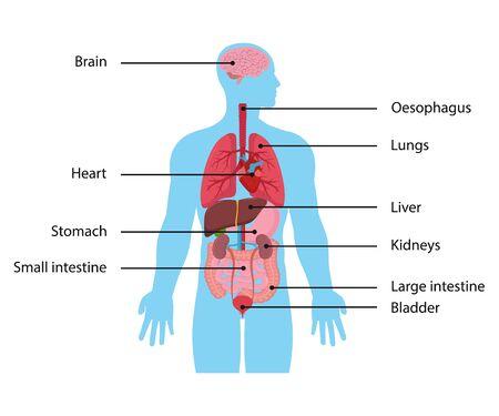 Ilustración vectorial de órganos internos. Diseño plano. Ilustración de vector