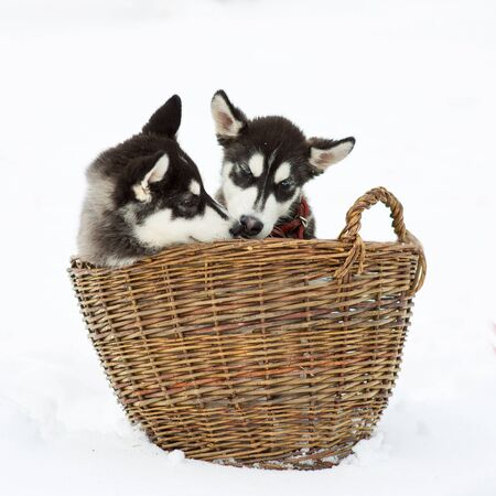 Siberian husky in a field of snow on a winter day