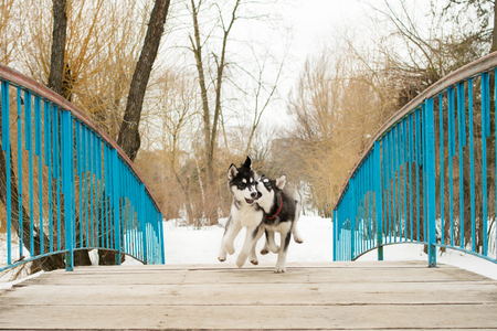 Siberian husky running across the bridge in a winter day 写真素材