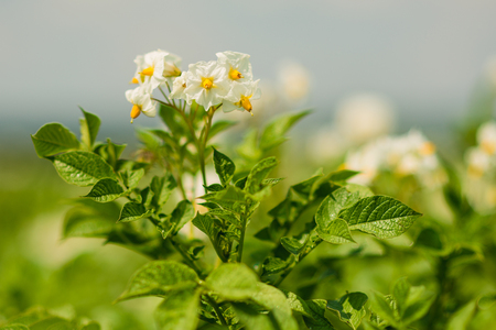 Potato bush blooming with white flowers Stock Photo