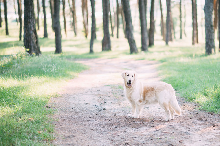 A friendly dog retriver spends an active time on the nature in the middle of the forest. 写真素材