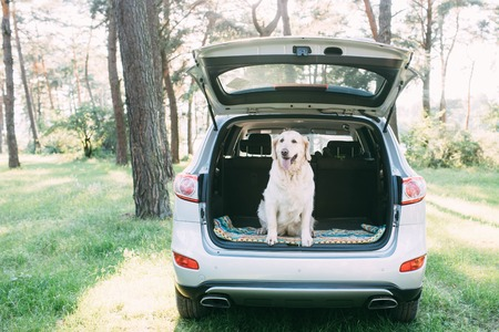A friendly dog retriver is sitting in the trunk of a white car. 写真素材