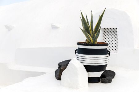 A great beautiful aloe vera grows in a pot.