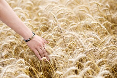 A courageous male hand touches the wheat ears in the field. 写真素材