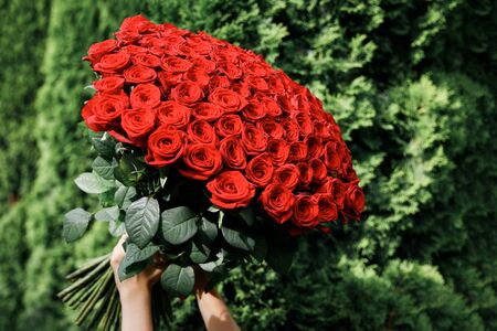 Huge bouquet of red roses in female hands on a background of green bushes
