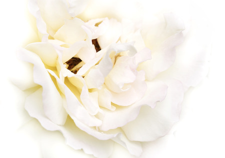white rose close up, background