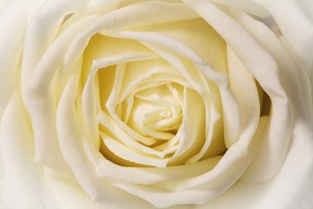 mujer con rosas: rosa blanca, de cerca Foto de archivo
