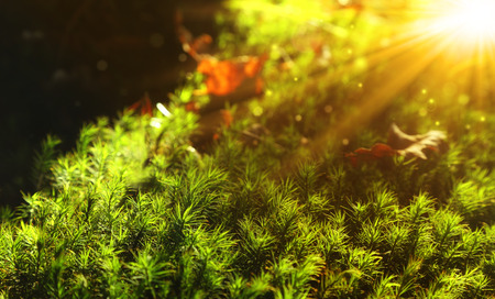 moss: beautiful autumn natural background, moss green and sunrise