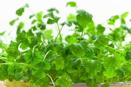 Cilantro greenery growing in flower pot close up. Homegrown cilantro on white background. Coriander green leaves